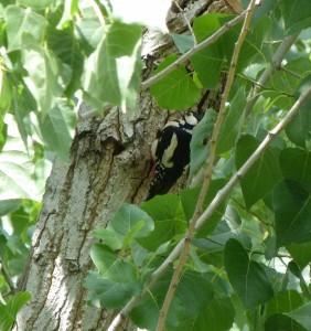 Pico picapinos junto a su nido en la Ribera del Manzanares