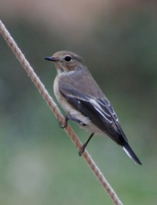 Ficedula_hypoleuca_female