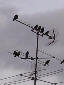 Grajillas en una antena de Comandante Fortea