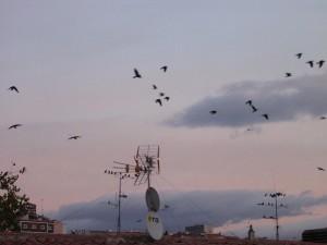 Grajillas volando al atardecer